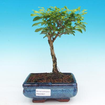 Pokojová bonsai - Duranta erecta Aurea - 1