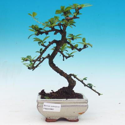 Izbová bonsai - Carmona macrophylla - Čaj fuki - 1