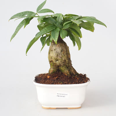 Pokojová bonsai - Pachira vodní