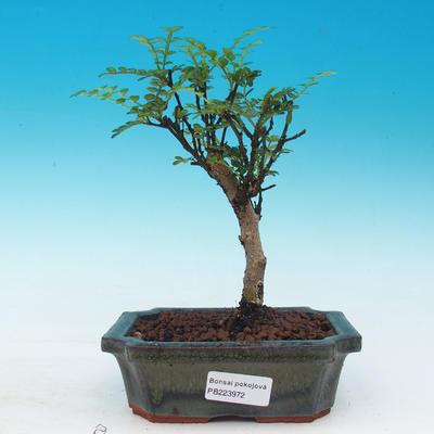 Izbová bonsai - Zantoxylum piperitum - piepor - 1