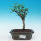 Izbová bonsai - Zantoxylum piperitum - piepor - 1/4