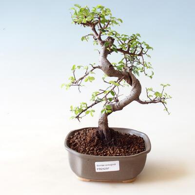 Venkovní bonsai - Acer palm. Atropurpureum-Javor dlanitolistý červený - 1