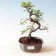 Venkovní bonsai - Acer palm. Atropurpureum-Javor dlanitolistý červený - 1/3