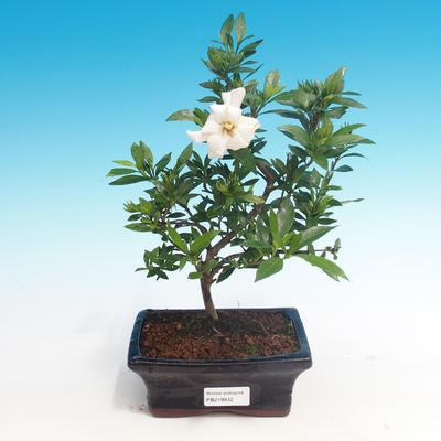 Pokojová bonsai - Gardenia jasminoides-Gardenie - 1