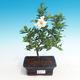Pokojová bonsai - Gardenia jasminoides-Gardenie - 1/2