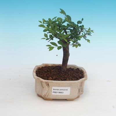 Pokojová bonsai - Ulmus parvifolia - Malolistý jilm - 1