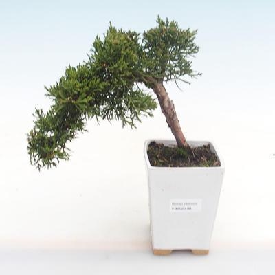 Pokojová bonsai-Ulmus Parvifolia-Malolistý jilm - 1