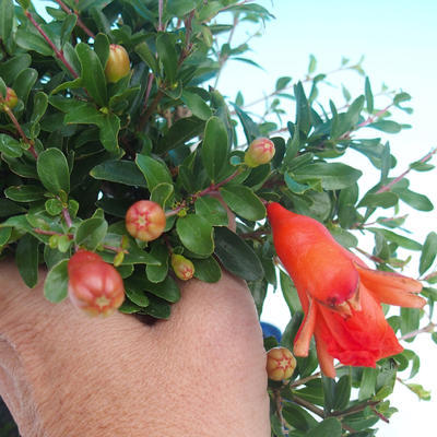 Pokojová bonsai-PUNICA granatum nana-Granátové jablko PB2192049 - 1