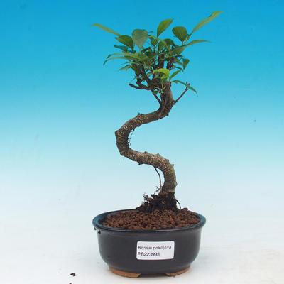 Izbová bonsai - Ficus retusa - malolistá fikus - 1