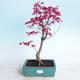 Venkovní bonsai - Javor palmatum DESHOJO - Javor dlanitolistý - 1/4