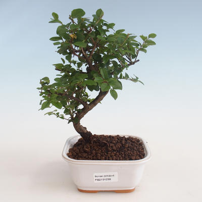 Pokojová bonsai - Sagerécie thea - Sagerécie thea 412-PB2191298 - 1