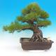 Venkovní bonsai - Pinus thunbergii - Borovice thunbergova - 1/6