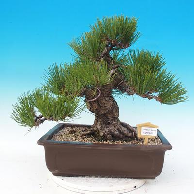 Vonkajšie bonsai - Pinus thunbergii - Borovica thunbergova - 1