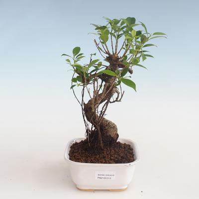 Pokojová bonsai - Ficus kimmen -  malolistý fíkus PB2191313