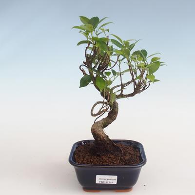 Pokojová bonsai - Ficus kimmen -  malolistý fíkus PB2191314