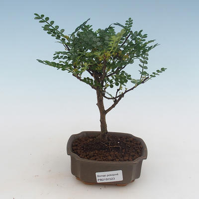 Pokojová bonsai - Ficus kimmen -  malolistý fíkus PB2191316