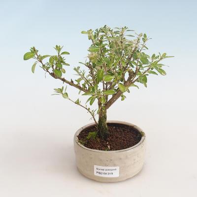Pokojová bonsai - Serissa foetida Variegata - Strom tisíce hvězd PB2191319 - 1