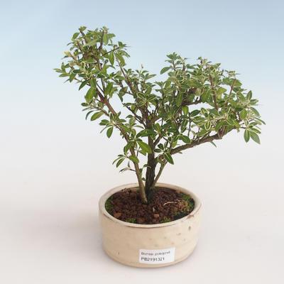 Pokojová bonsai - Serissa foetida Variegata - Strom tisíce hvězd PB2191321 - 1