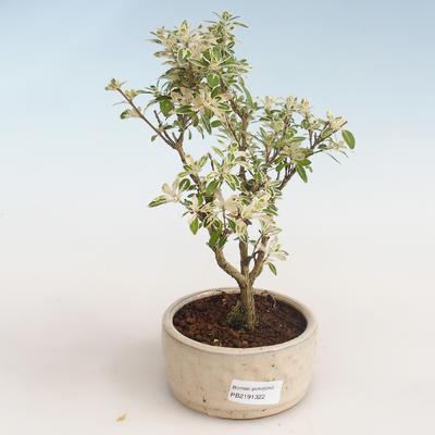 Pokojová bonsai - Serissa foetida Variegata - Strom tisíce hvězd PB2191322 - 1