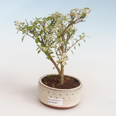 Pokojová bonsai - Serissa foetida Variegata - Strom tisíce hvězd PB2191323 - 1