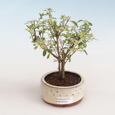 Pokojová bonsai - Serissa foetida Variegata - Strom tisíce hvězd PB2191324 - 1
