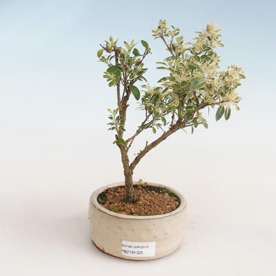 Pokojová bonsai - Serissa foetida Variegata - Strom tisíce hvězd PB2191325 - 1