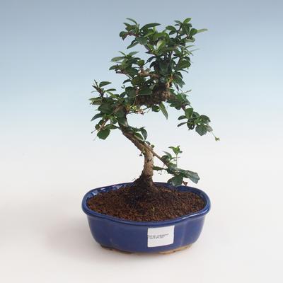 Pokojová bonsai - Carmona macrophylla - Čaj fuki PB2191327 - 1