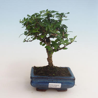 Pokojová bonsai - Carmona macrophylla - Čaj fuki 412-PB2191336 - 1