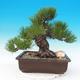Venkovní bonsai - Pinus thunbergii - Borovice thunbergova - 1/5