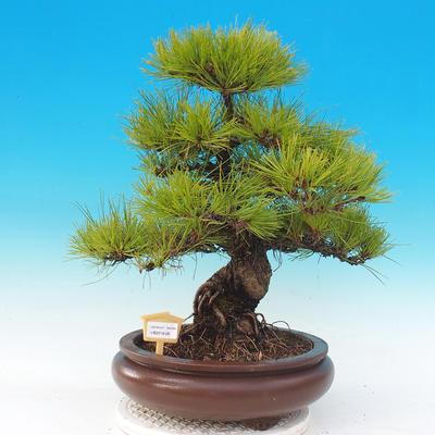 Venkovní bonsai - Pinus densiflora - borovice červená - 1