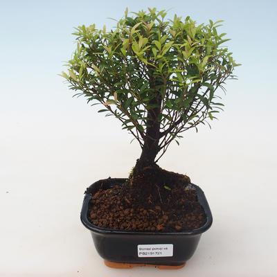 Pokojová bonsai - Syzygium - Pimentovník PB2191721 - 1