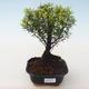 Pokojová bonsai - Syzygium - Pimentovník PB2191721 - 1/3
