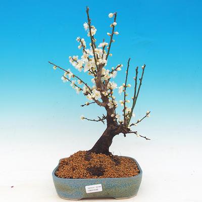 Venkovní bonsai -Japonská meruňka - Prunus Mume - 1