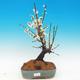 Venkovní bonsai -Japonská meruňka - Prunus Mume - 1/2