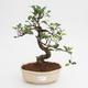 Pokojová bonsai - Ficus retusa -  malolistý fíkus - 1/2
