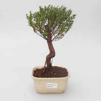 Izbová bonsai - Syzygium - pimentovníka - 1