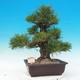 Vonkajšie bonsai - Pinus thunbergii - Borovica thunbergova - 1/5