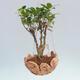 Kokedama v keramice - malolistý ficus - Ficus kimmen - 1/2