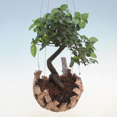 Kokedama v keramice -Sagerecia čajová - Sageretia thea - 1