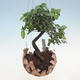 Kokedama v keramice -Sagerecia čajová - Sageretia thea - 1/2