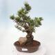 Venkovní bonsai - Malus sargentii -  Maloplodá jabloň - 1/4