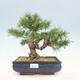 Vonkajší bonsai -Malus halliana - Maloplodé jabloň - 1/4
