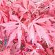 Venkovní bonsai - Acer palm. Atropurpureum-Javor dlanitolistý - 1/2