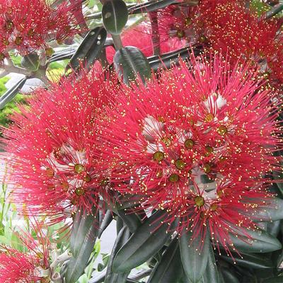 Pokojová bonsai - Metrosideros excelsa - Železnatec ztepilý PB220500 - 1