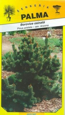 Borovica ostitá - Pinus aristata