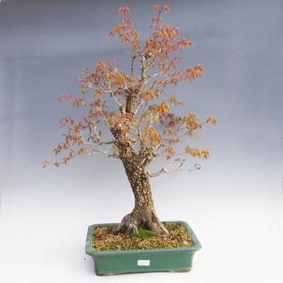 Vonkajšie bonsai -Javor korkový VB40426 - 1