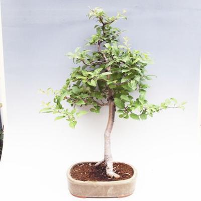 Venkovní bonsai -Maloplodá jabloň VB50100 - 1