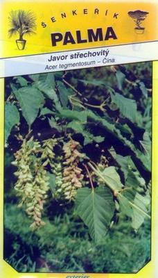 Javor střechovitý - Acer tegmentosum