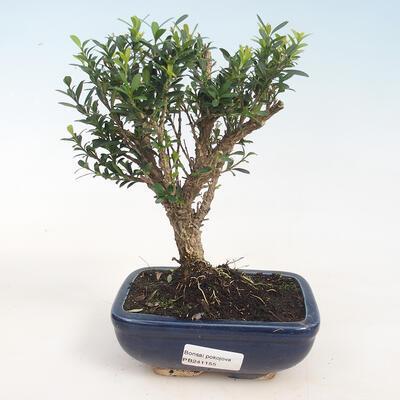 Izbová bonsai - Buxus harlandii -korkový buxus - 1