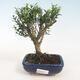 Izbová bonsai - Buxus harlandii -korkový buxus - 1/4